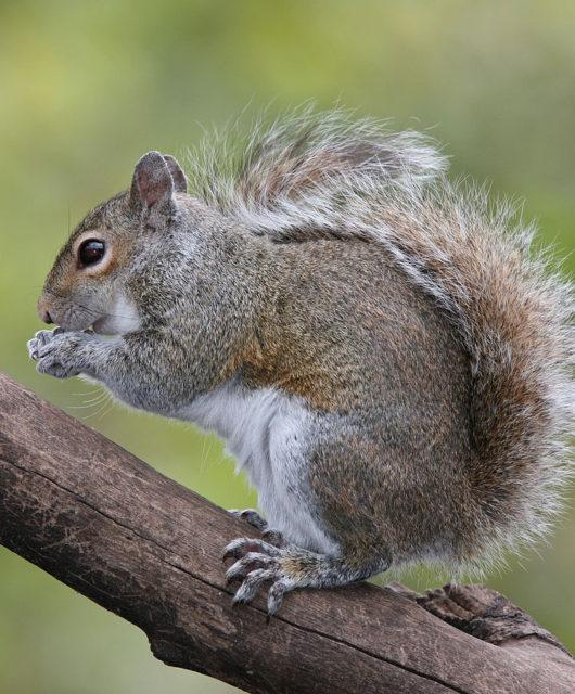 1086px-eastern_grey_squirrel