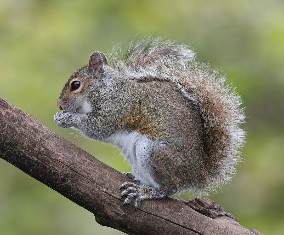 1086px-eastern_grey_squirrel